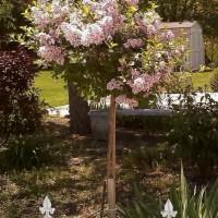 Photo Thumbnail #1: Prized plants! Two tree lilacs that flank...