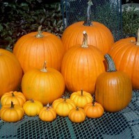 Photo Thumbnail #6: Fall 2010 Pumpkin crop from our 1st attempt at...