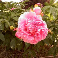 Photo Thumbnail #3: Double Pink Peony passed down to me from my...