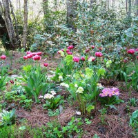 Photo Thumbnail #2: Hellebores, forget-me-nots, and primroses dot...