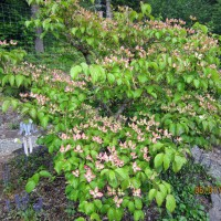 Photo Thumbnail #13: 2012 June 1.  This Dogwood Tree is probably...