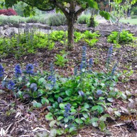 Photo Thumbnail #15: 2012 June 1.  I started this Ajuga from a...