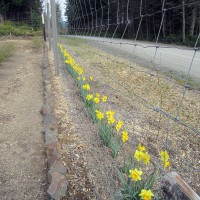 Photo Thumbnail #12: Thank heavens for daffodils on dreary days.