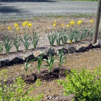 Photo Thumbnail #4: 2011 May 12. Daffodils are still blooming and...