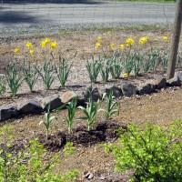 Photo Thumbnail #4: 2011 May 12. Daffodils are still blooming and...