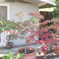 Photo Thumbnail #1: Japenese maples in pots