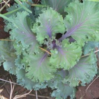 Photo Thumbnail #10: Different colored kale in the front yard along...