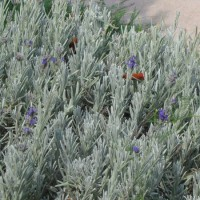 Photo Thumbnail #4: Lavender (there before, also edible)