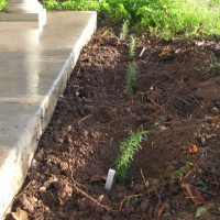 Photo Thumbnail #5: Planted a rosemary hedge in front of the porch.