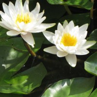 Photo Thumbnail #3: Water lilies in my pond (there before, also...