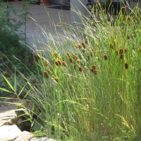 Photo Thumbnail #2: Cattails in my pond (there before, but all...