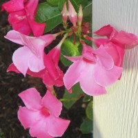 Photo Thumbnail #3: Mandevilla vine