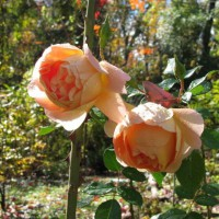 Photo Thumbnail #9: David Austin Rose
