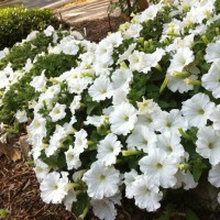 Photo Thumbnail #2: The glory of these wave petunias is that they...