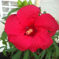 Photo Thumbnail #15: My 10 inch plate hibiscus
