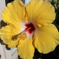 Photo Thumbnail #11: One of my Hibiscus plants finally popped up.
