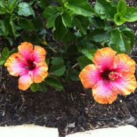 Photo Thumbnail #14: My new exotic hibiscus