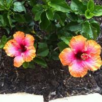 Photo Thumbnail #14: My new exotic hibiscus