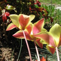 Photo Thumbnail #8: Species Tulips