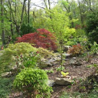 Photo Thumbnail #1: Japanese Maples