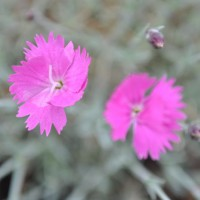 Photo Thumbnail #9: Dianthus 'Firewitch'. Early May.
