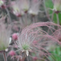 Photo Thumbnail #8: Prairie Smoke. Early May.