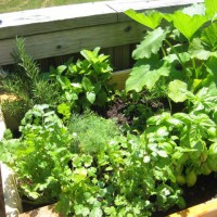 Photo Thumbnail #22: mint, rosemary, basil, cilantro, dill (MY...
