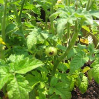 Photo Thumbnail #17: some baby cherry tomatoes..