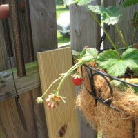 Photo Thumbnail #14: Strawberries before some critter ate them.