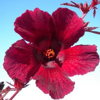 Photo Thumbnail #5: hibiscus panama red