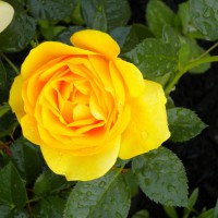 Photo Thumbnail #6: yellow rose