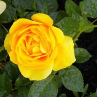 Photo Thumbnail #6: yellow rose