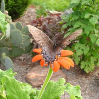 Photo Thumbnail #8: Butterflies feasting on Tithonia.