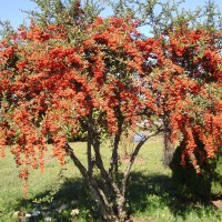 Photo Thumbnail #11: Firethorn cherry tree
