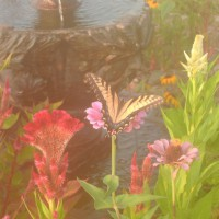 Photo Thumbnail #1: Butterflies swarm to our flower beds....such a...