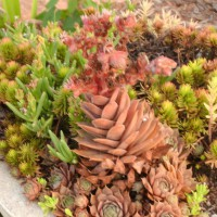 Photo Thumbnail #9: Gotta love sedum.....