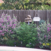 Photo Thumbnail #15: The Texas lilac, next to the Silverado sage is...