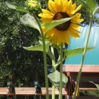 Photo Thumbnail #21: Presley's sunflowers