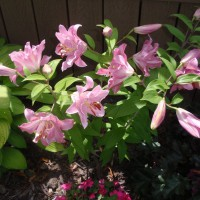Photo Thumbnail #8: I love these Lillies