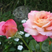 Photo Thumbnail #1: My Peace Rose