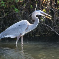 Photo Thumbnail #1: Blue Heron fishing in stream.
