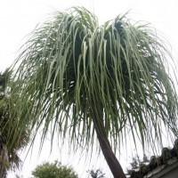 Photo Thumbnail #6: Ponytail Palm