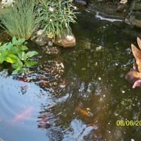 Photo Thumbnail #6: Fish in pond, Lola loves observing them.
