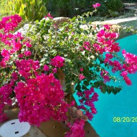 Photo Thumbnail #29: Bougainvilleas are amazing, bloom all year long