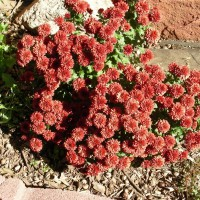 Photo Thumbnail #1: Fall Flowers in the Rock Garden
