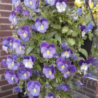 Photo Thumbnail #8: This basket of trailing pansies has been...