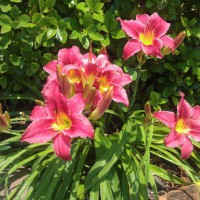 Photo Thumbnail #1: Daylilies do well in my front yard.  Love them!