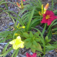 Photo Thumbnail #4: More daylilies