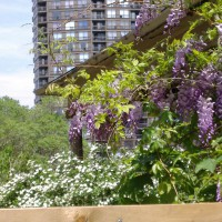 Photo Thumbnail #2: The Wisteria in bloom accompanied by Bridal Wreath