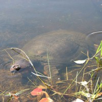 Photo Thumbnail #28: This is no-nose the Florida softshell turtle....
